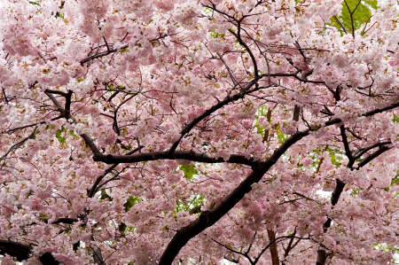 cherry tree blossom japan. A perfect lossom